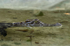 Krokodilreflexionen bevattnar in Royaltyfria Foton