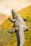 Krokodilsömn Arkivfoto