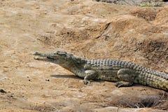 Krokodilsavanne Stockfotografie