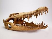 Krokodilschädel auf weißem Hintergrund Stockfotografie