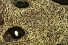 Krokodilschedel, beenelement stock foto
