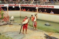 Krokodilshow Arkivbild