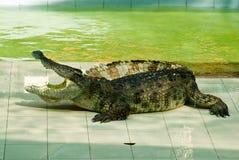 krokodilshow för 2 uppgift Arkivbild