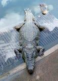 Krokodilshow Thailand 1 royaltyfria foton