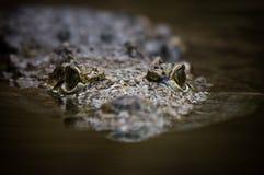 krokodilsimning Arkivfoton