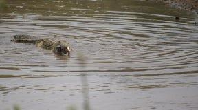 Krokodilsimning i vatten royaltyfria bilder