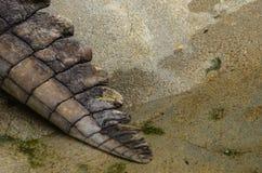Krokodilstaart royalty-vrije stock foto