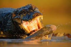 KrokodilYacare kajman, med fisken in med aftonsolen, djur i naturlivsmiljön, matande plats för handling, Pantanal, Brasilien Arkivbilder