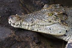 Krokodilzähne und Detail des Auges, halb versteckt Stockfotos