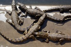 Krokodyl 06 Obraz Royalty Free