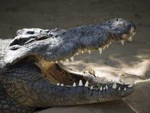 krokodyl Obraz Royalty Free