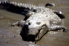 krokodyl 2 fotografia stock
