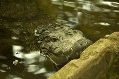 Krokodyl Zdjęcia Royalty Free