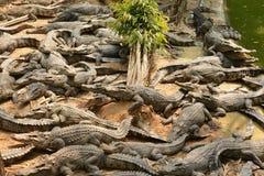 Krokodyl, Obrazy Stock