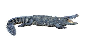 Krokodyl Obrazy Royalty Free