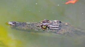 Krokodyl zbiory