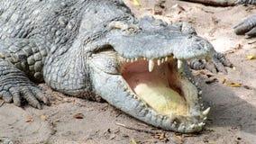Krokodyl zdjęcie wideo