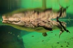 Krokodyl Zdjęcia Stock