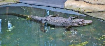 Krokodyl Fotografia Stock