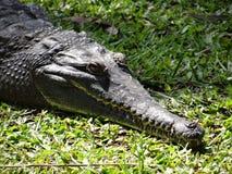 krokodyl australijski Obraz Stock