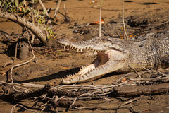krokodyl australijski Zdjęcie Royalty Free