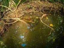 Krokodyl Bebe Chujący W grązie zdjęcie stock