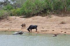 Krokodyl chujący w wodzie czaije się na młodym wodnym bizonie obrazy royalty free