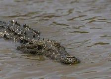 Krokodyl czaije się w błotnistej wodzie zdjęcie stock