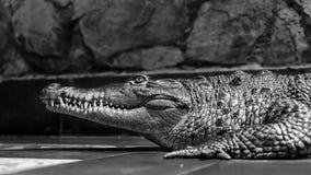 Krokodyl czarny i biały Zdjęcia Stock
