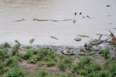 krokodyl dziki Obraz Royalty Free