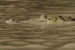 Krokodyl głowa w mrocznej wodzie fotografia royalty free