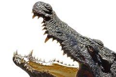 krokodyl głowa Obrazy Royalty Free