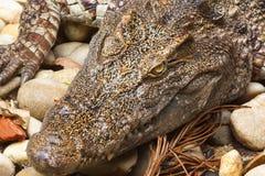 krokodyl głowa Obrazy Stock
