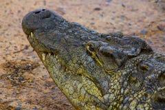 Krokodyl głowa Zdjęcie Royalty Free