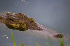 Krokodyl głowa z wody Obraz Royalty Free