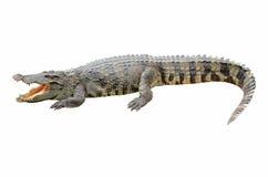Krokodyl na biały tle. Zdjęcia Royalty Free
