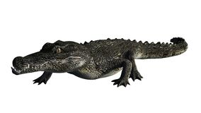 Krokodyl na biały tle Obraz Stock