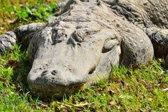 Krokodyl na trawie Zdjęcia Royalty Free