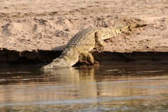 krokodyl Nile Obraz Royalty Free