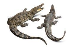 krokodyl odizolowane Obrazy Stock