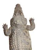 Krokodyl odizolowywający z ścieżką obrazy stock