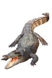 krokodyl odizolowywający Obrazy Stock