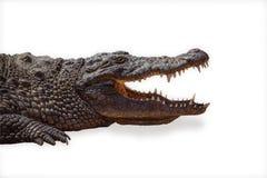Krokodyl odizolowywający Fotografia Royalty Free