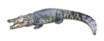 Krokodyl odizolowywający Fotografia Stock