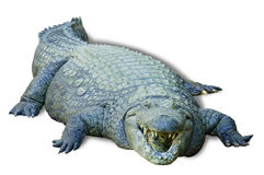 Krokodyl, odizolowywający Fotografia Royalty Free