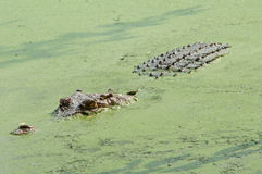krokodyl okrutnie Zdjęcia Royalty Free