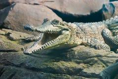 krokodyl otwarte usta Obraz Stock