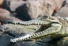 krokodyl otwarte usta Obrazy Royalty Free