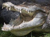 krokodyl otwierają szczęki Fotografia Royalty Free