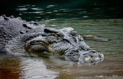 krokodyl płytka woda Obraz Stock